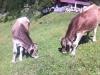 Kühe im Höhenbachtal