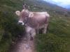 Kuh in der Seitenansicht