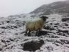 Schaf im Schnee
